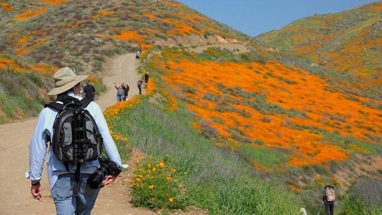 Толпы туристов в Калифорнии: местные холмы «пылают» редким цветением оранжевых маков авиатур