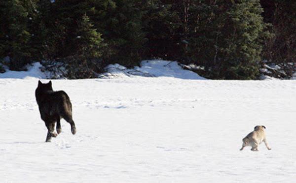 собака и дикий волк играют вместе