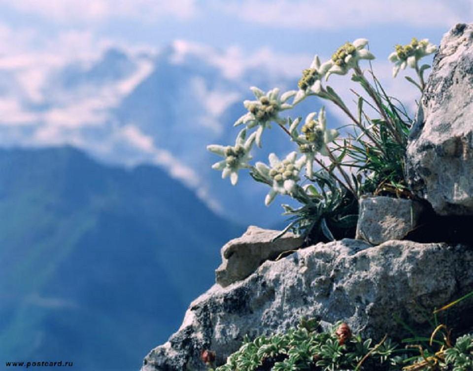 Самое романтическое растение - Эдельвейс. интересное, природа, растения, цветы