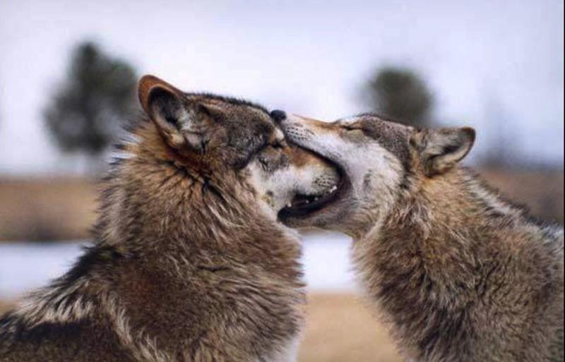 даже целующиеся волки признания в любви картинки раз