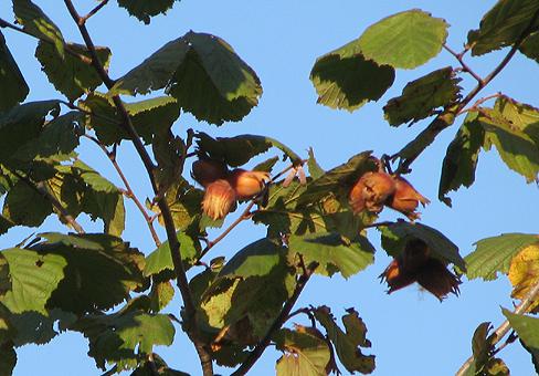 Лещина, орешник (Corylus)