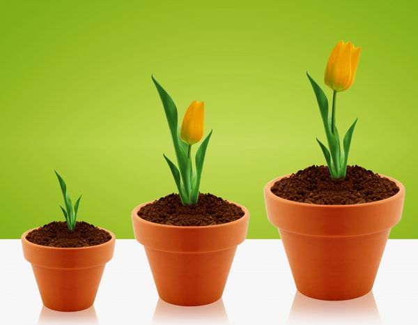 Как заставить тюльпаны цвести среди зимы — что такое выгонка, что и как нужно делать