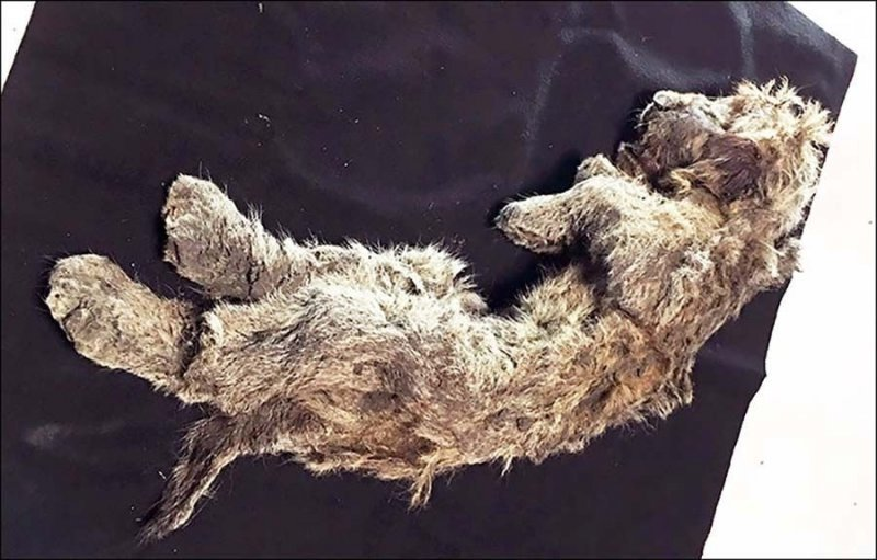 В вечной сибирской мерзлоте обнаружен 50-тысячелетний пещерный львёнок животные, лев, львенок, новости, раскопки