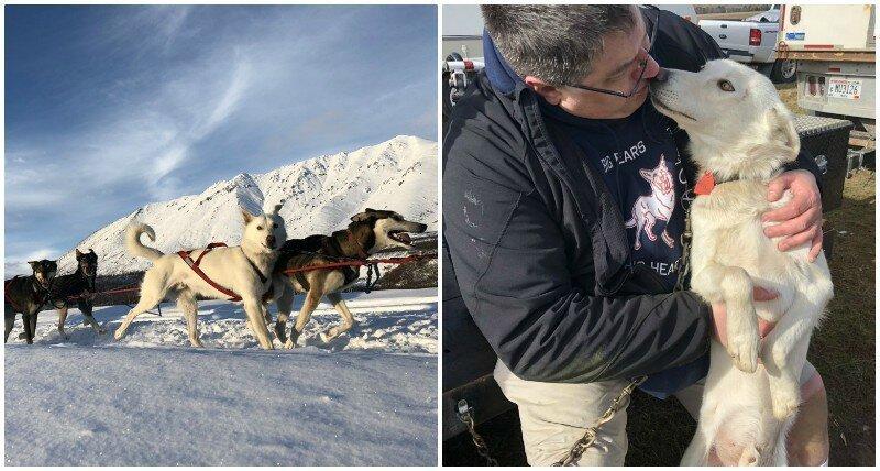 11. Уиксон (Wickson) - один год животные, истории, мило, работа, собака, собаки, упряжка, фото
