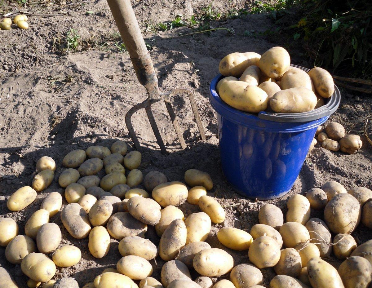 картинка копка картошки сделать