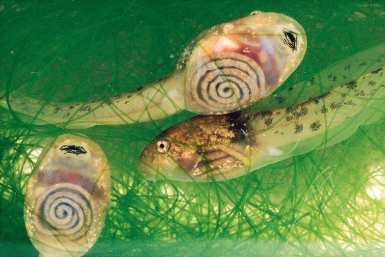 Коста-риканские головастики Прозрачные, животные, фауна