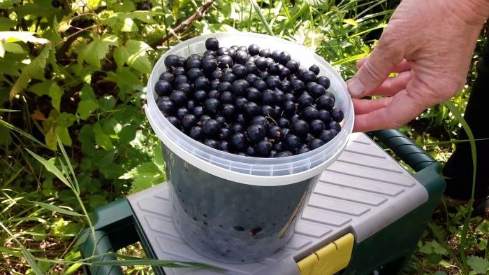 Как и чем нужно подкормить куст смородины после сбора ягод, чтобы получить урожай в следующем году