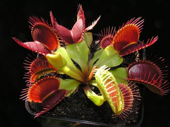 Венерина мухоловка. интересное, природа, растения, цветы