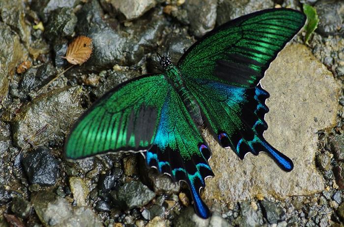 Великолепная бабочка черный Махаон.