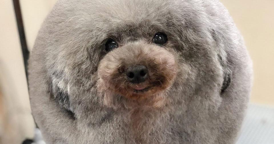 Этот собачий парикмахер превращает щенков в пушистые шарики – один взгляд на них делает людей счастливее