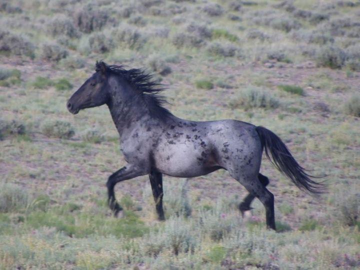 Вороно-чалая животные, лошадь