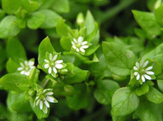 Мокрица - сорняк полезный для здоровья