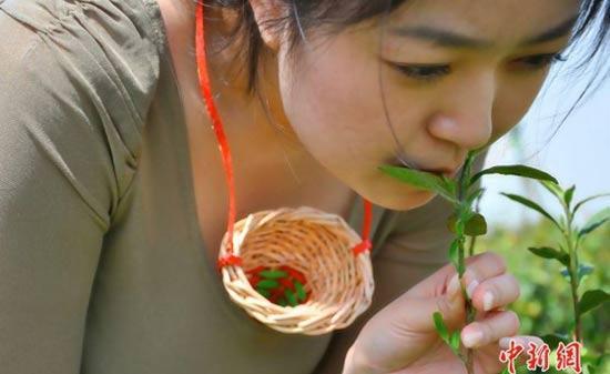 Чай, который собирают губами девственниц... действительно существует!