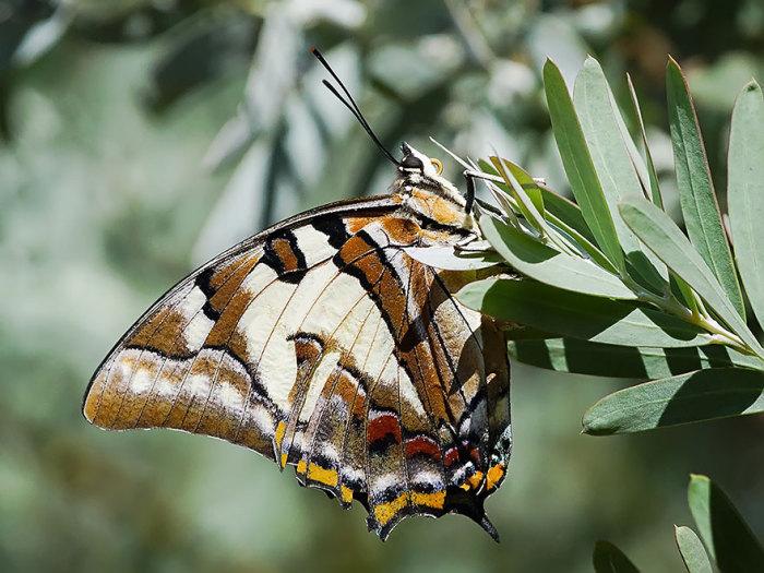 Австралийская бабочка с любопытным прозвищем «хвостатый император».