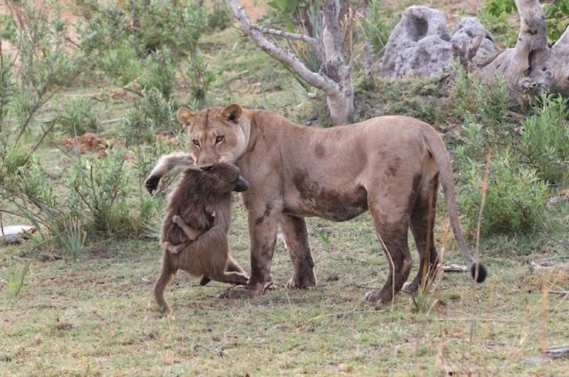 Эта львица убила бабуина и проявила заботу к его малышу