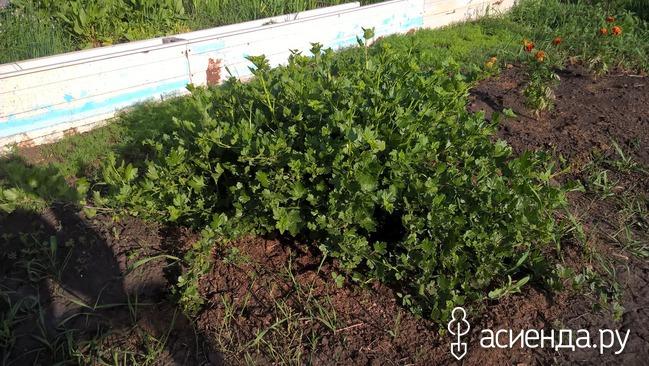 Вопрос-ответ > Сад и огород > Плодовые деревья Формирование крыжовника