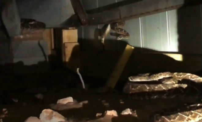Гнездо 45 гремучих змей под обычным домом животные
