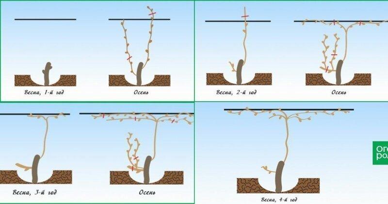 Правильная обрезка винограда Лайфхак, дача, огород, полезные советы, сад