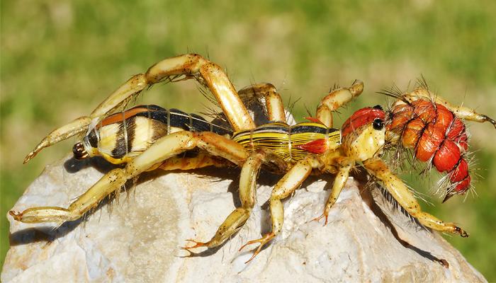 Фаланга: самый ужасный паук из сердца пустыни арахнофобия,выживание,паук,Пространство,путешествия,сольпуга,ужас,фаланга
