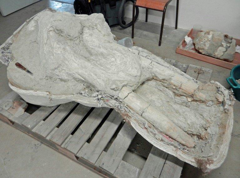 Найден редкий череп пиренейс…