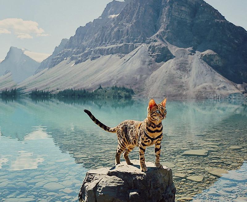 Бенгальская кошка путешествует по самым красивым местам Канады