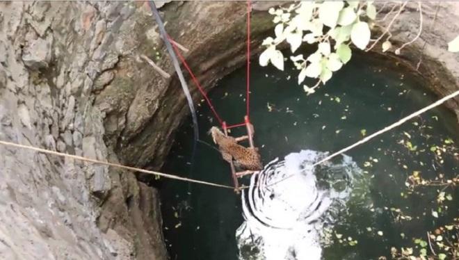 Пленница в воде: самка леопарда оказалась в колодце, и людям пришлось разработать план по ее спасению