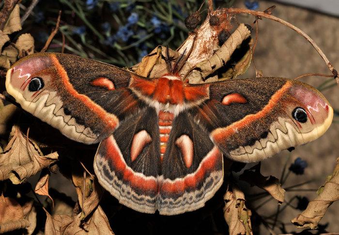 Самый крупный мотылек Северной Америки и один из самых ярко раскрашенных.