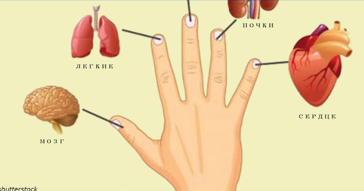 Каждый палец связан с 2 орга…