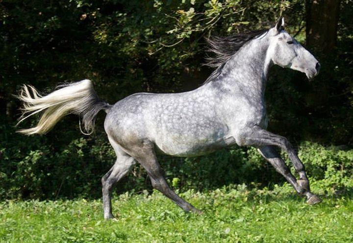 Першеронская лошадь животные, лошадь