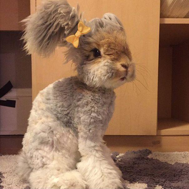 Ангорский кролик Уолли с огромными ушами, похожими на крылья ангела