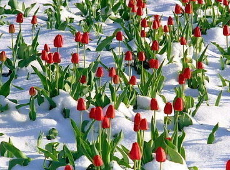 Тюльпаны на снегу) Поэзия