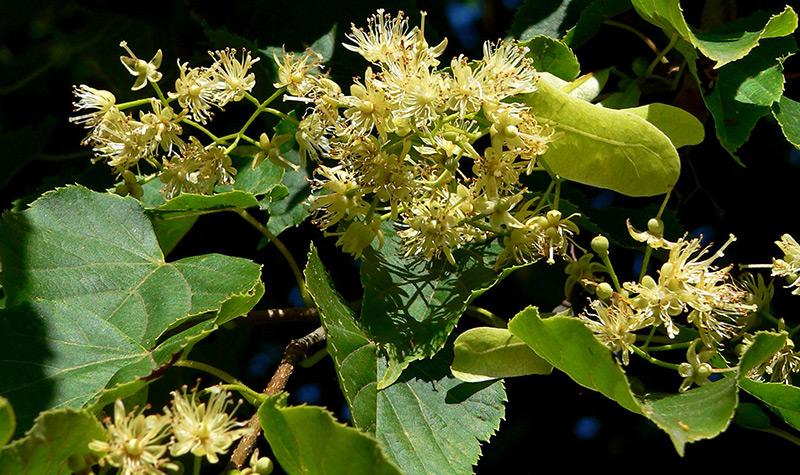 Цветы и листья липы для волос