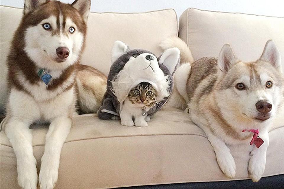 Фотографии дружбы хаски и котёнка пользуются неимоверной популярностью. Фото: Инстаграм lilothehusky