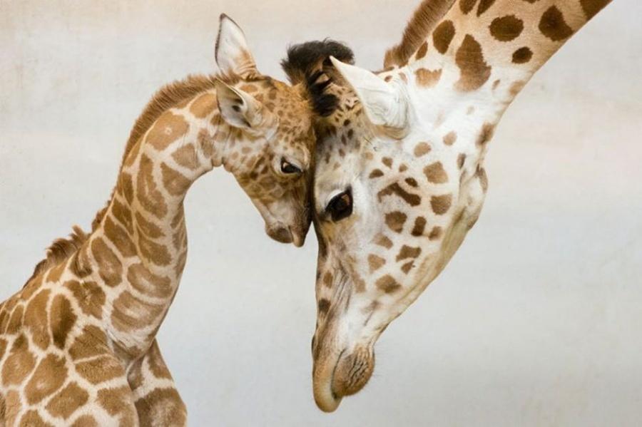 мастер-классе картинки с мамами и детенышами животных практике арабы никогда