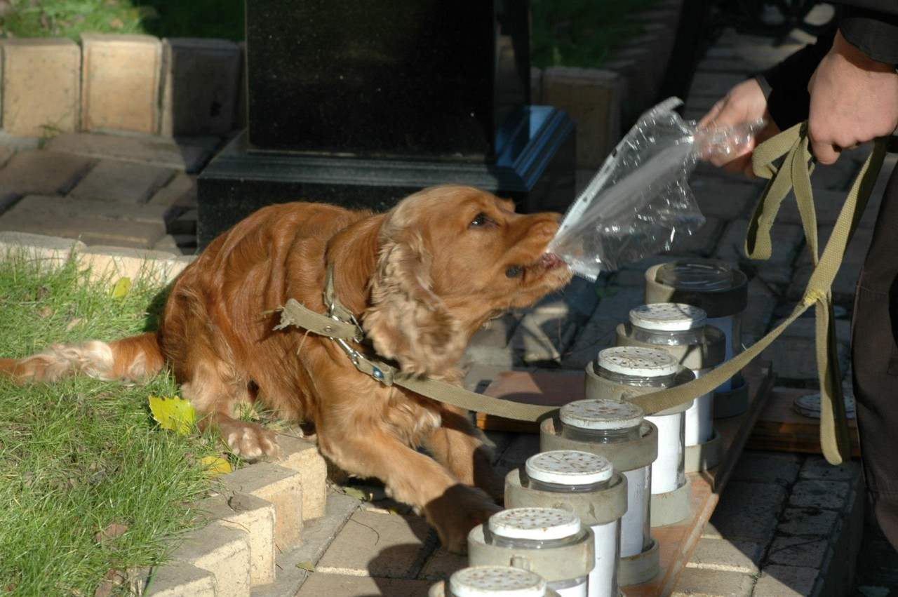 Как обмануть собаку на марихуану конопля при лечении миомы