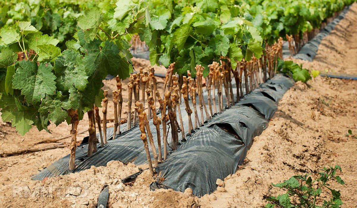 Умный виноградник: укоренение без проблем
