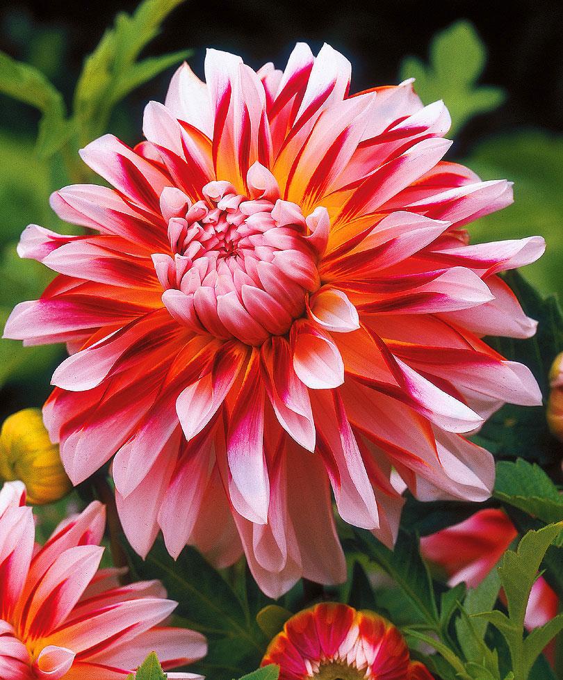 Картинки с цветы георгины