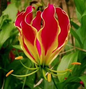 Как вырастить цветок глориоза