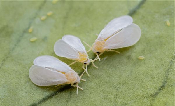 Белокрылка – зараза, которая может лишить урожая