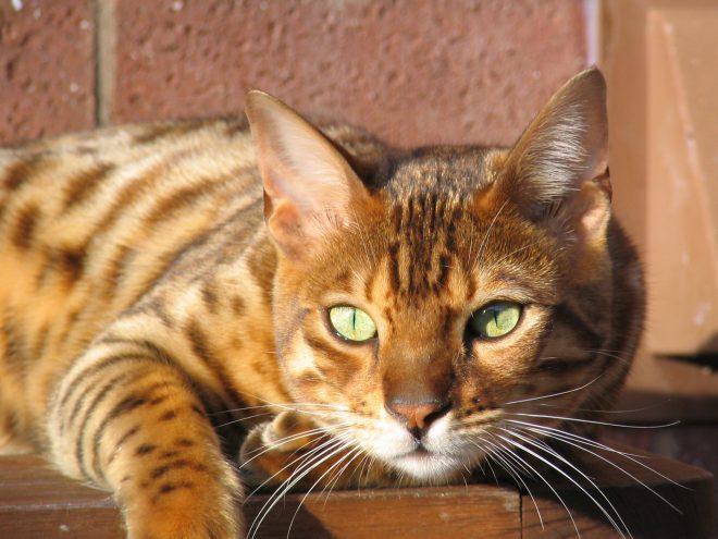 Бенгальская кошка: фото, описание породы, где купить