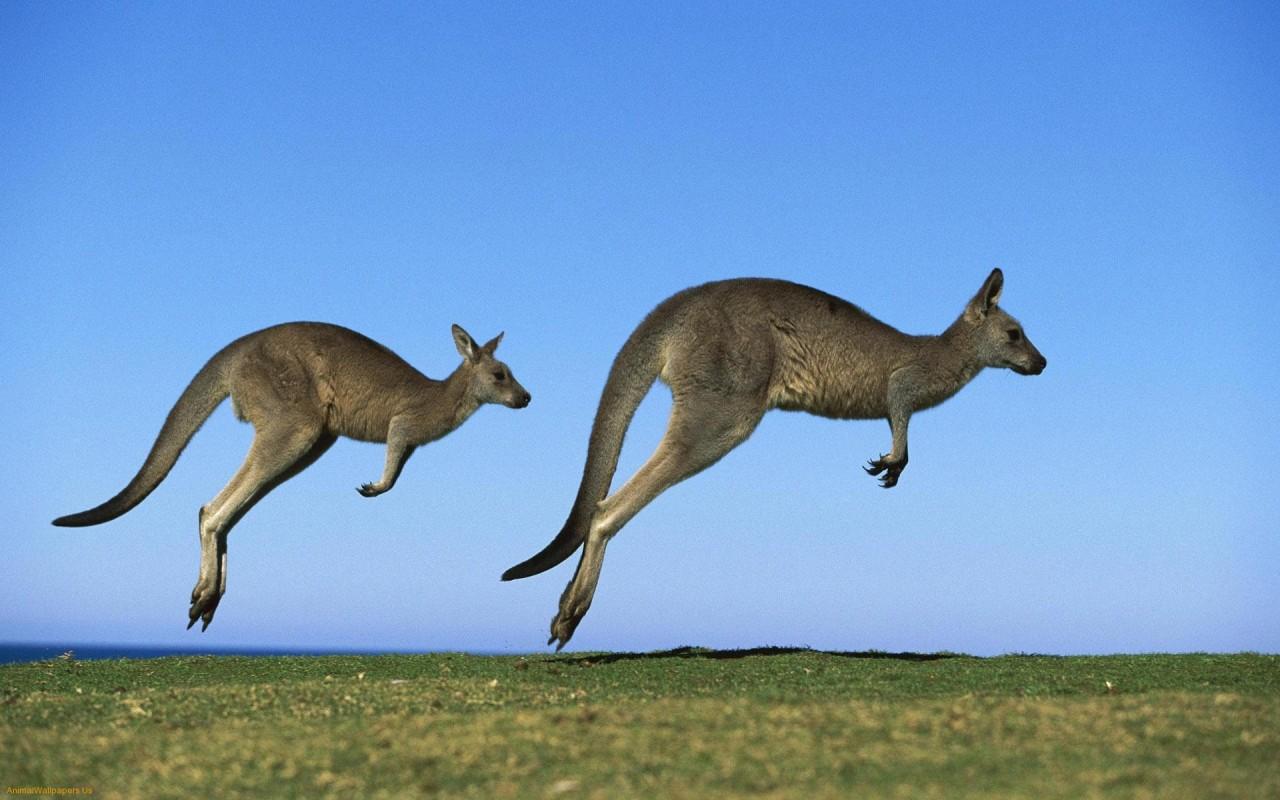 19-летнего охотника избил кенгуру, спасая своих сородичей
