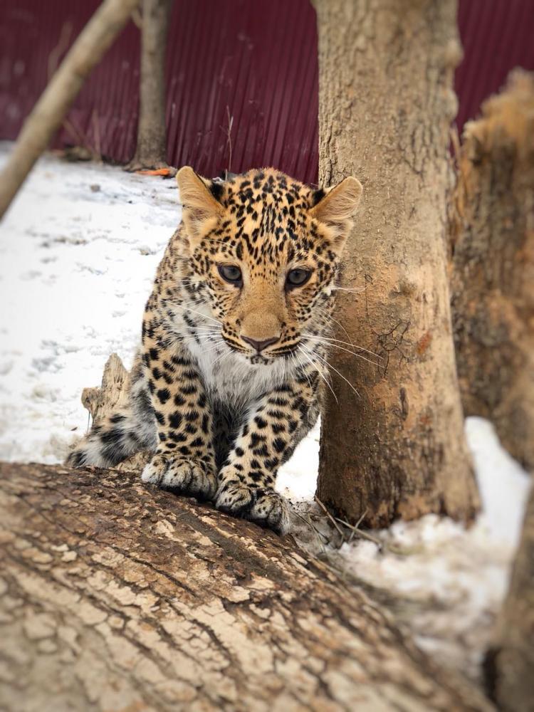 Овчарка воспитывает леопарда