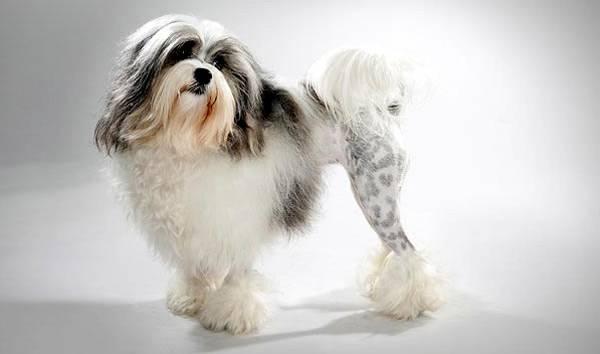 Левхен, или львиная собачка