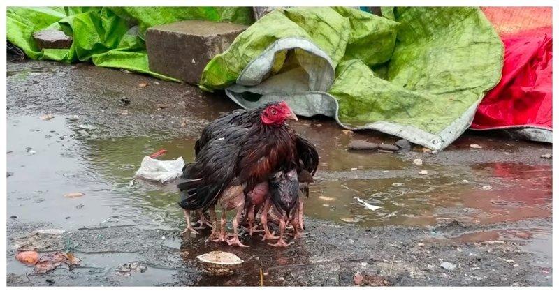 Мама-курица укрыла своих птенцов от сильного дождя видео, дети, животные, индия, курица, маты, птица, рынок