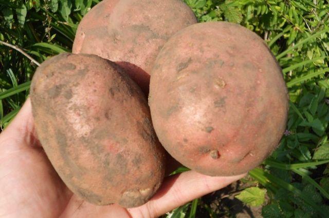 Сорта картофеля, показавшие себя лучше других