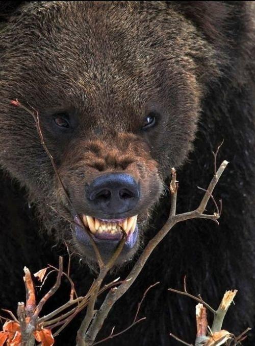 знаю фото оскалившегося медведя сюрприз