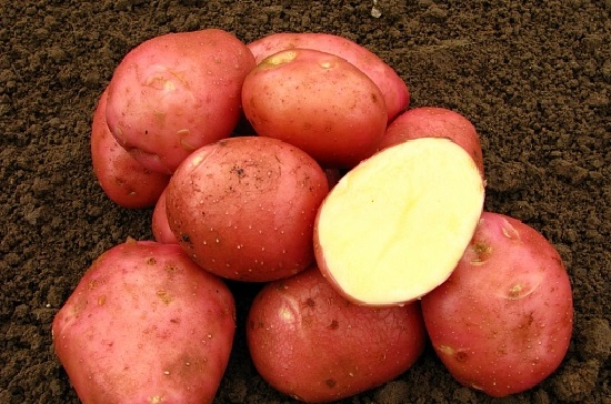 Картошку сорта Беллароза не съест колорадский жук