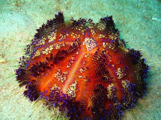 Иглоподушечный морской еж или огненный еж