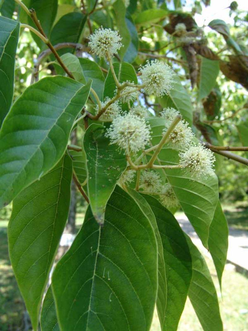адамово дерево фото комнатное растение ударной силой