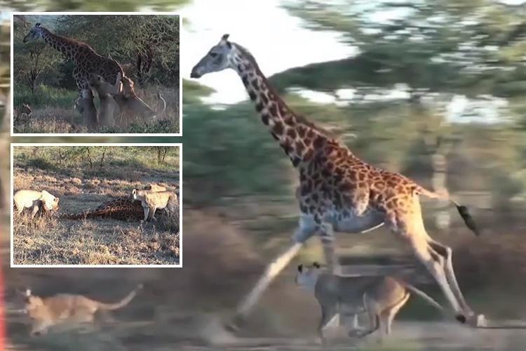Четыре львицы работают в команде, чтобы добыть для себя жирафа